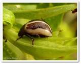Ragweed beetle (Zygogramma suturalis)