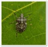 Stinkbug (Parabrochymena arboreaStink bug)