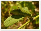 Canadian tiger swallowtail butterfly larva (Papilio canadensis)