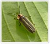 Firefly (Photinus) sp.)