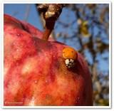 Asian lady beetle (Harmonia axyridis) on apple