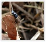 Scarab beetle (Aphodius)