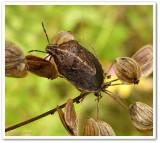 Stinkbug (Neottiglossa undata)