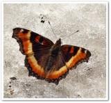 Crescents, Checkerspots  and Anglewings (Nymphalidae; Subfamily: Nymphalinae)