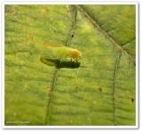 Psyllid insect (Psyllidae)