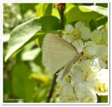 White spring moth (Lomographa vestaliata), #6667