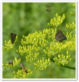 Insects on wild parsnip (Pastinaca sativa)