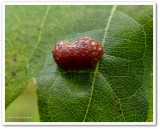 Galls  of the Reveler Conservation Area
