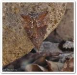 Green cloverworm moth (Hypena scabra), #8465
