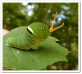 Candian tiger swallowtail caterpillar