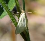 Carrot seed moth (Sitochroa palealis), #4986.1