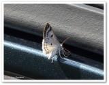 Bluish spring moth (Lomographa semiclarata) #6666