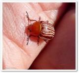 Sumac flea beetle (Blepharida rhois)