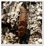 Firefly larva (Lampyridae)