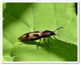 Click beetle (Selatosomus pulcher)