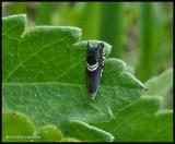 Clover-head moth (Grapholita interstinctana), #3439