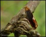 Red-headed Anclylis  moth  (Ancylis muricana), #3377