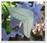 White slant-line moth (Tetracis crocallata), #6964
