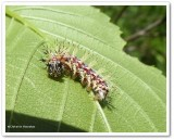 Question mark butterfly caterpillar  (Polygonia interrogationis)