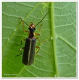 Soldier beetle  (Podabrus  intrusus)
