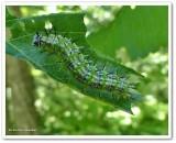 Compton tortoiseshell butterfly caterpillar (Nymphalis l-album)