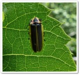 Firefly (Pyractomena borealis)