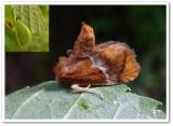 Yellow shouldered slug moth  (Lithacodes fasciola), #4665