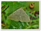 Early Zanclognatha moth (Zanclognatha cruralis), #8351