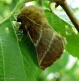Eastern tent caterpillar moth (Malacosoma americana), #7701