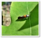 Kermes scale moth (Euclemensia bassettella), #1467