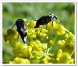 Tumbling flower beetles, possibly Mordella lunulata