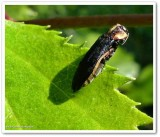 Hawthorn root borer (Agrilus vittaticollis)