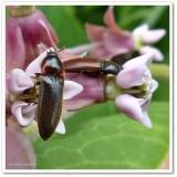 Click beetles (Elateridae)