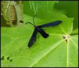 Grape leaf skeletonizer moth (Harrisina americana), #4624