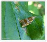 Spring dead-leaf roller moth (Sparganothis diluticostana), #3716