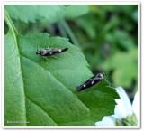 Twirler moths (Landryia impositella), #1662