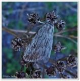 Moth (Eribidae??)