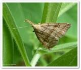 Pale phalaenostola (Phalaenostola metonalis), #8362