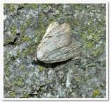 Three-lined balsa moth  (Balsa tristrigella), #9663