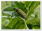 Thistle head weevil (Rhinocyllus conicus)