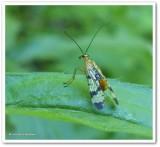 Scorpion Flies of the Reveler Conservation Area