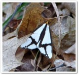 The neighbour moth (Haploa contigua), #8110