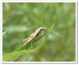 Moth  (Phtheochroa vitellinana), #3825