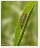 Topiary grass veneer  (Chrysoteuchia topiaria), #5391