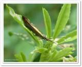 Casebearer moth  (Coleophora)