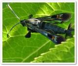 Virginia creeper clearwing moth (Albuna fraxini), #2532