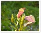 Primrose moths and larva (Schinia florida), #11164