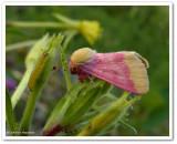 Flower Moths: Noctuidae (Heliothinae)  11164