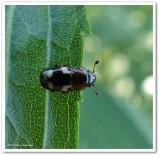 Four-spotted sap beetle (Glischrochilus quadrisignatus)