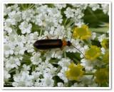 Soldier beetle (Rhagonycha mollis)